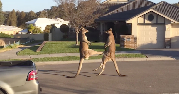Two Kangaroos Just Got Into An Incredible Street Fight